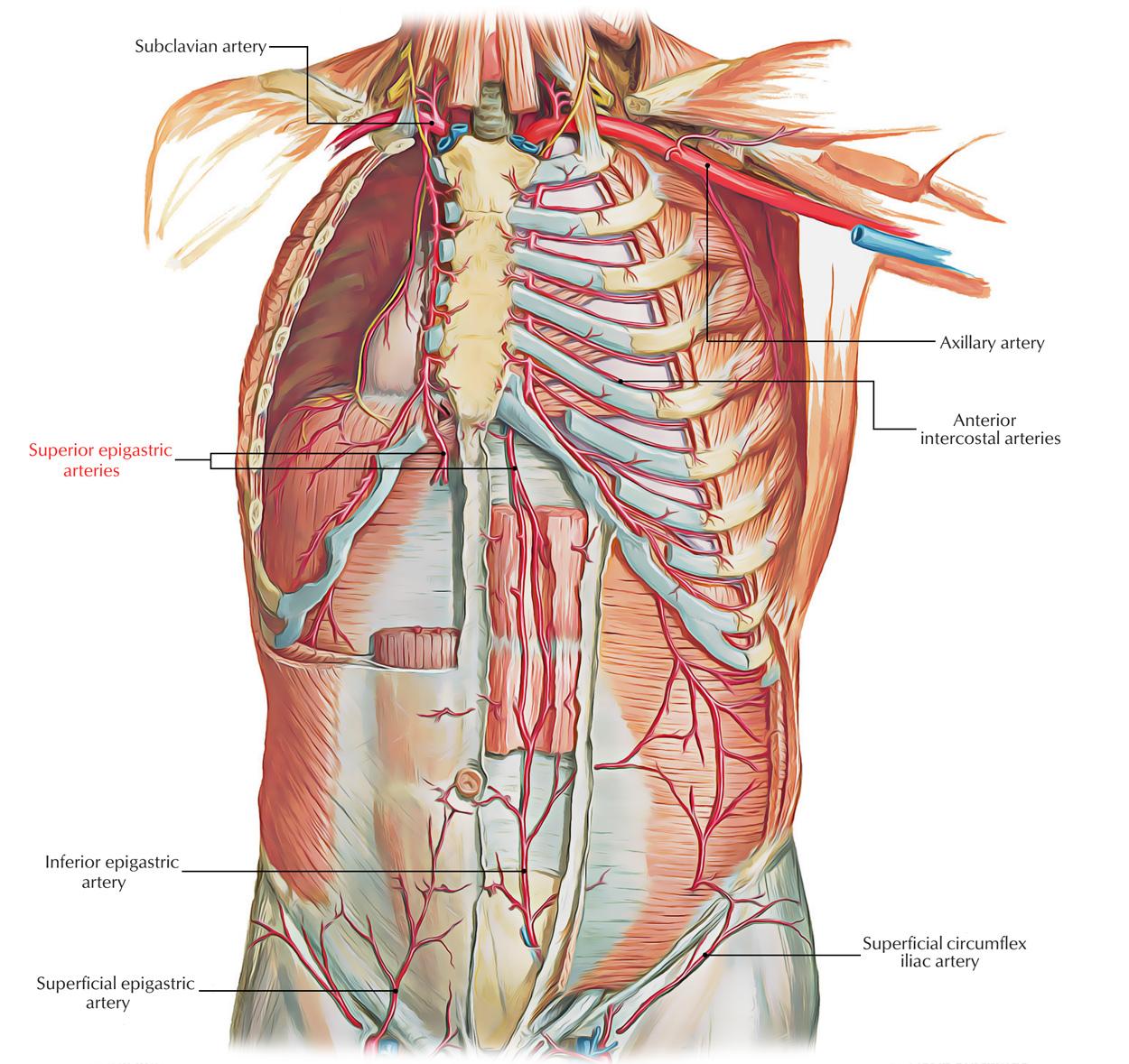 hight resolution of vascular diagram of neck