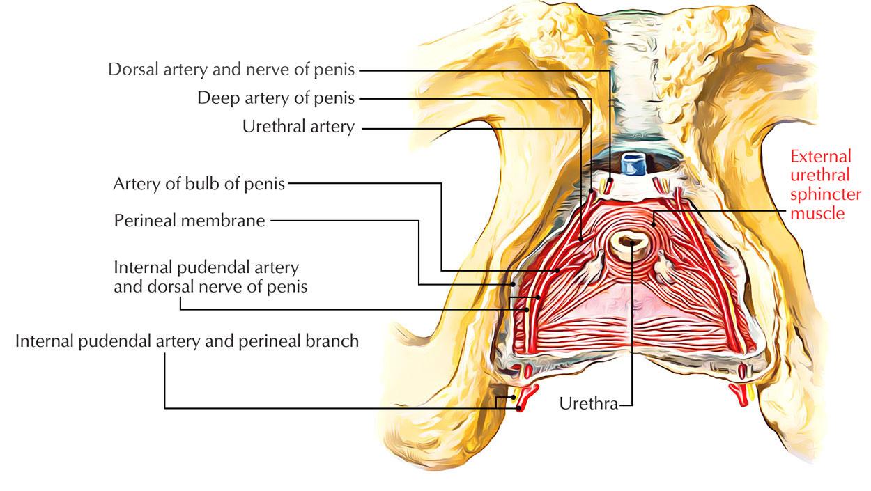 hight resolution of external urethral sphincter