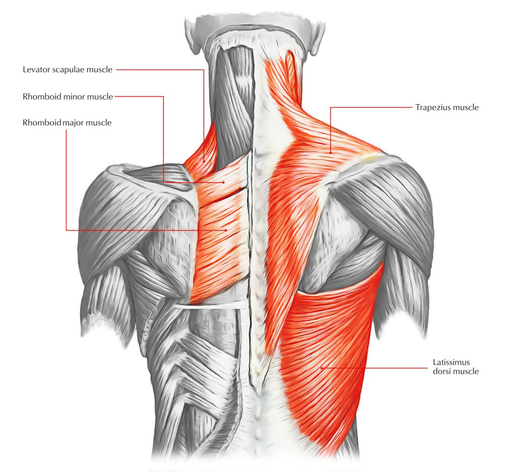 medium resolution of back muscles 28 major muscles of the back earth s lab lower back diagram muscles back diagram muscles