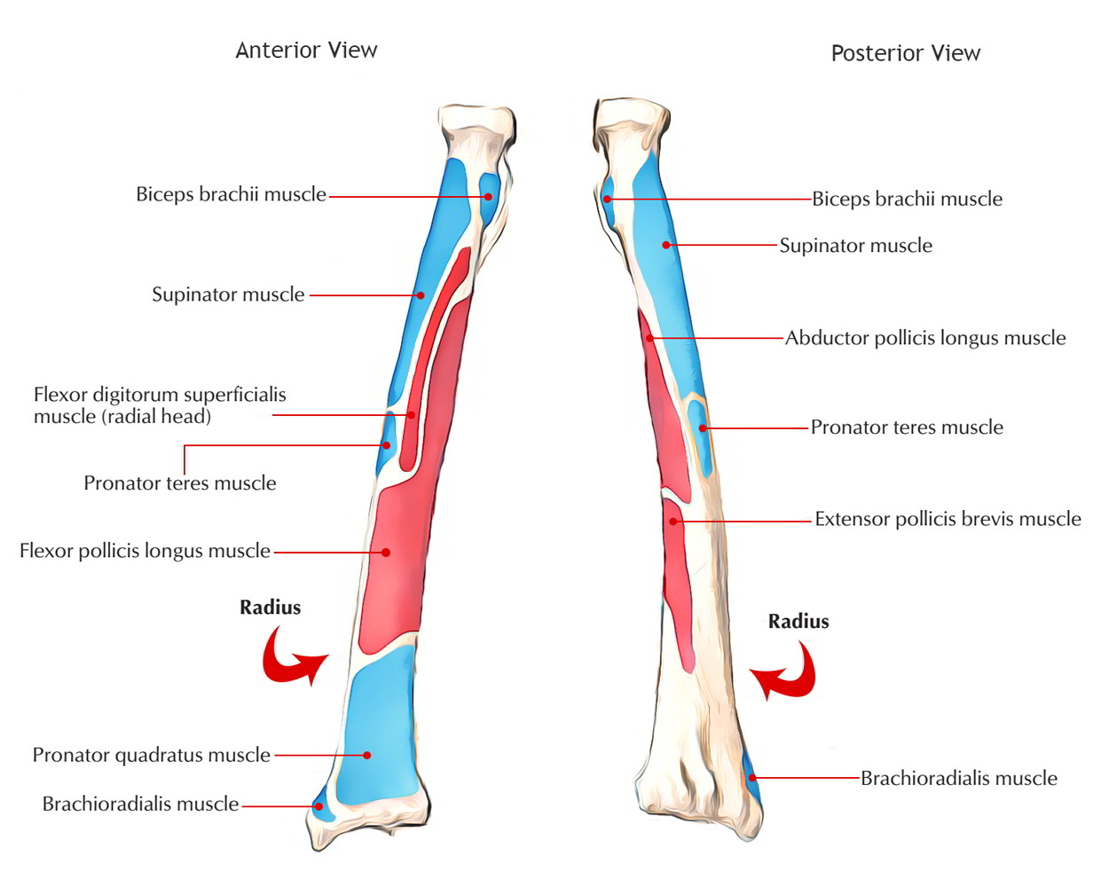 Complete Anatomy Of Radius Bone Learn With Pictures And