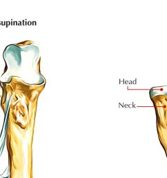 upper end radius bone [ 1312 x 626 Pixel ]