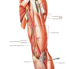 Radial Nerve Diagram Wiring For Alternator Warning Light Easy Notes On 【arteries Of The Upper Limb】learn In Just 4 Minutes!