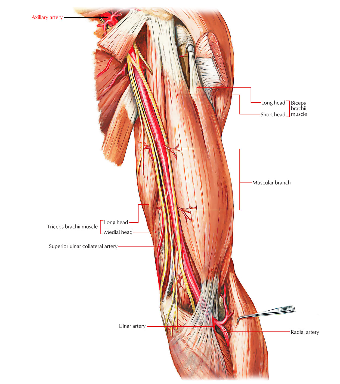 hight resolution of arteries of the upper limb axillary artery