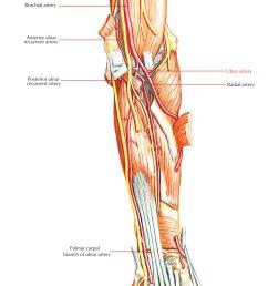 arteries of upper limb ulnar artery [ 1250 x 1582 Pixel ]