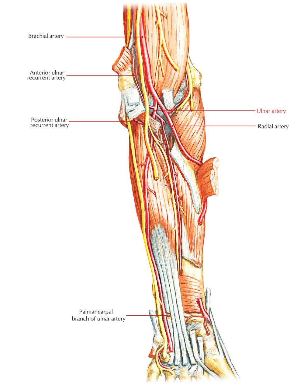 medium resolution of arteries of upper limb ulnar artery