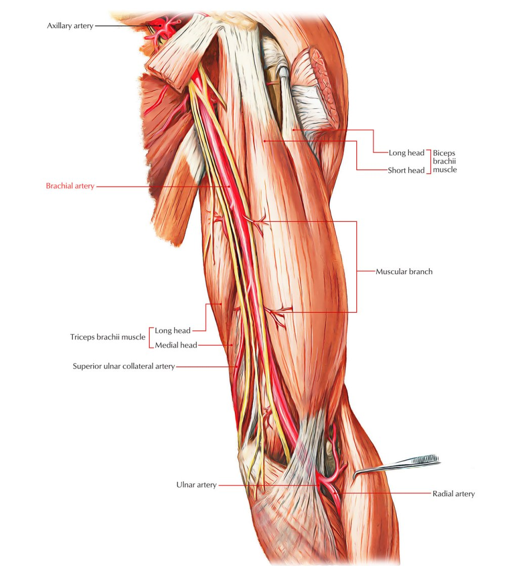 medium resolution of arteries of the upper limb brachial artery