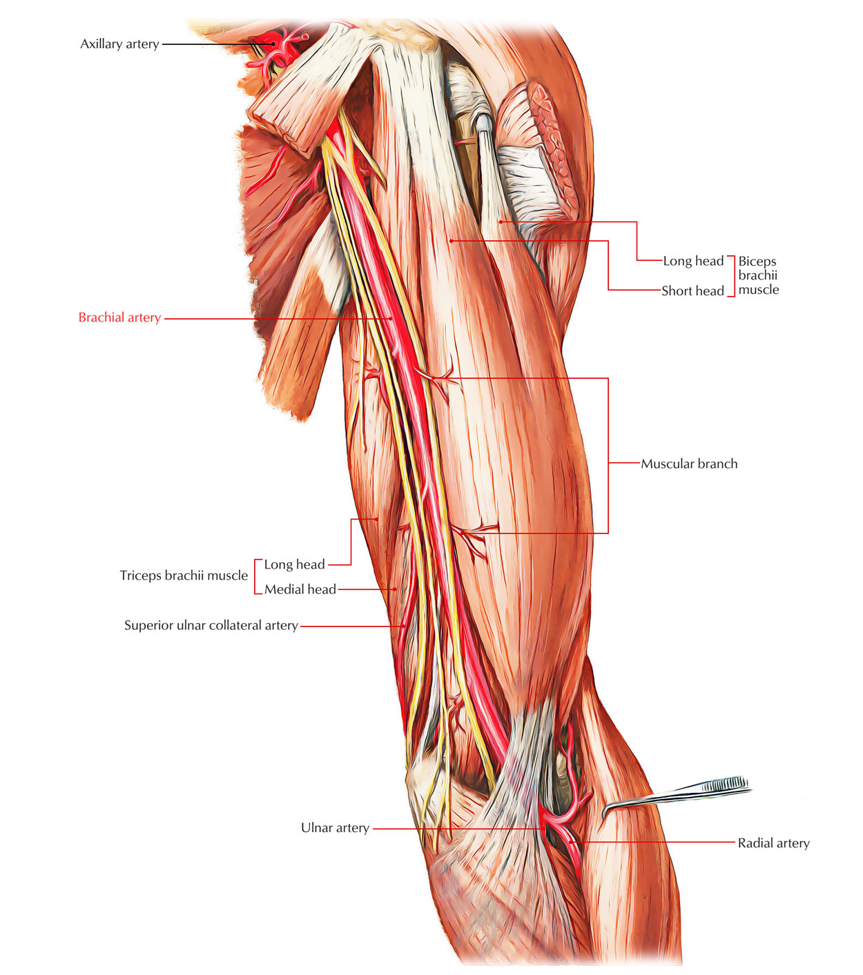 hight resolution of arteries of the upper limb brachial artery