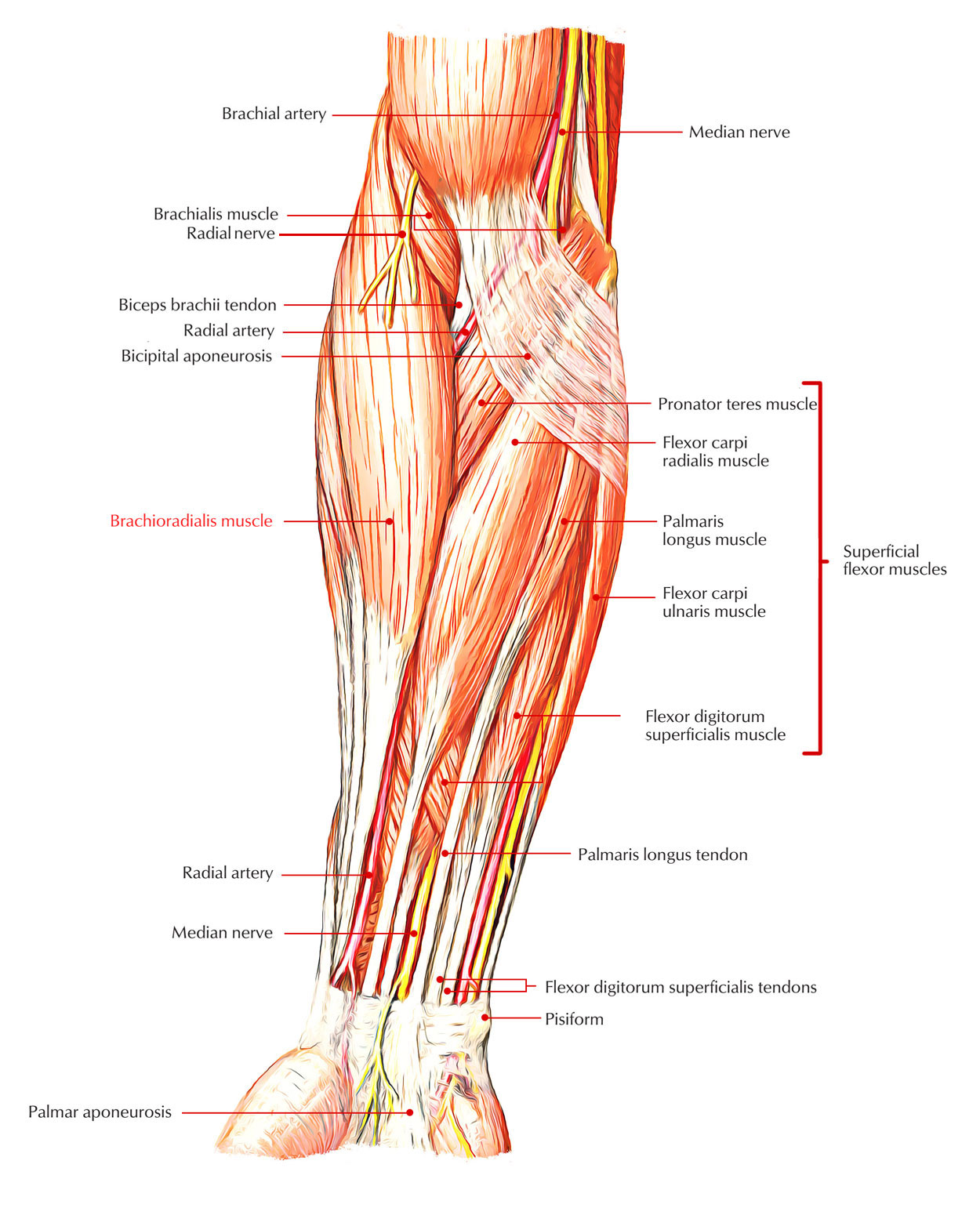 hight resolution of compared to most of the long tendons of the forearm the tendon of the bra chioradialis does not traverse the wrist joint but instead stops at the distal