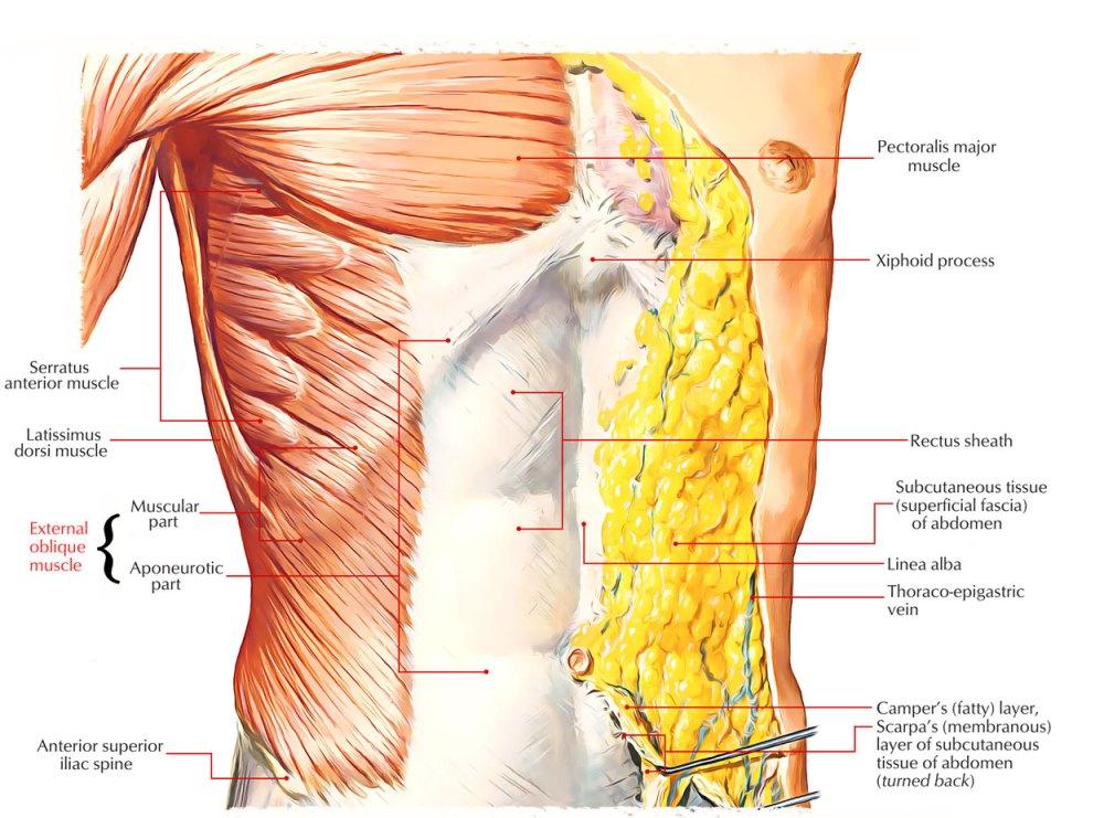 medium resolution of external oblique