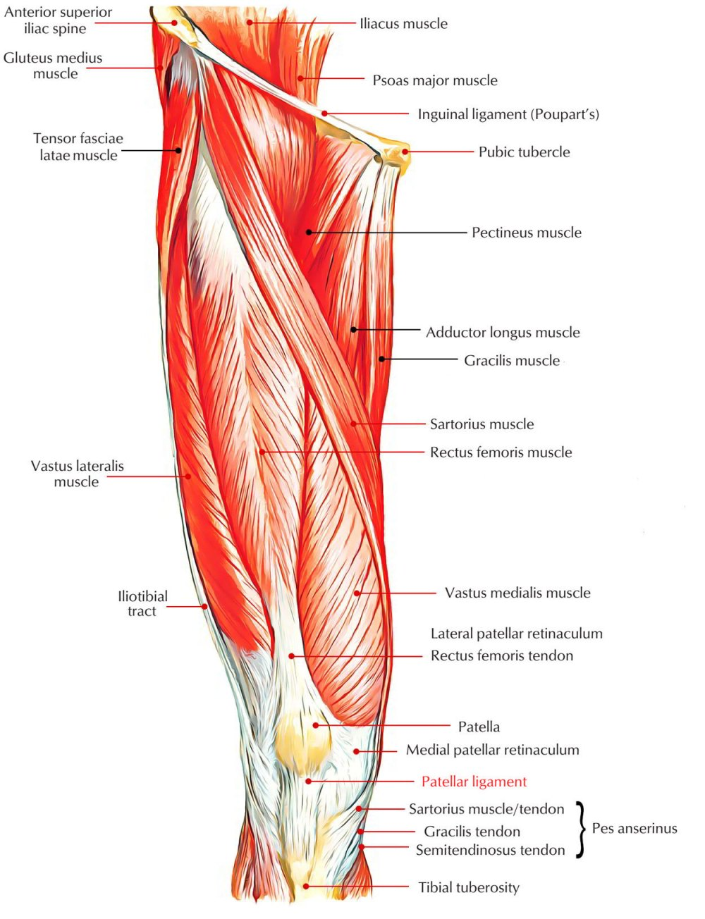 medium resolution of easy notes on patellar ligament learn in just 4 minutes earth s lab