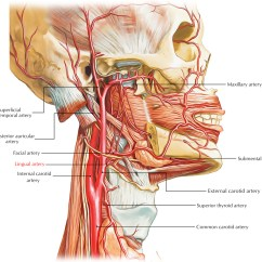 Major Muscle Diagram To Label Typical Rv Wiring Lingual Artery