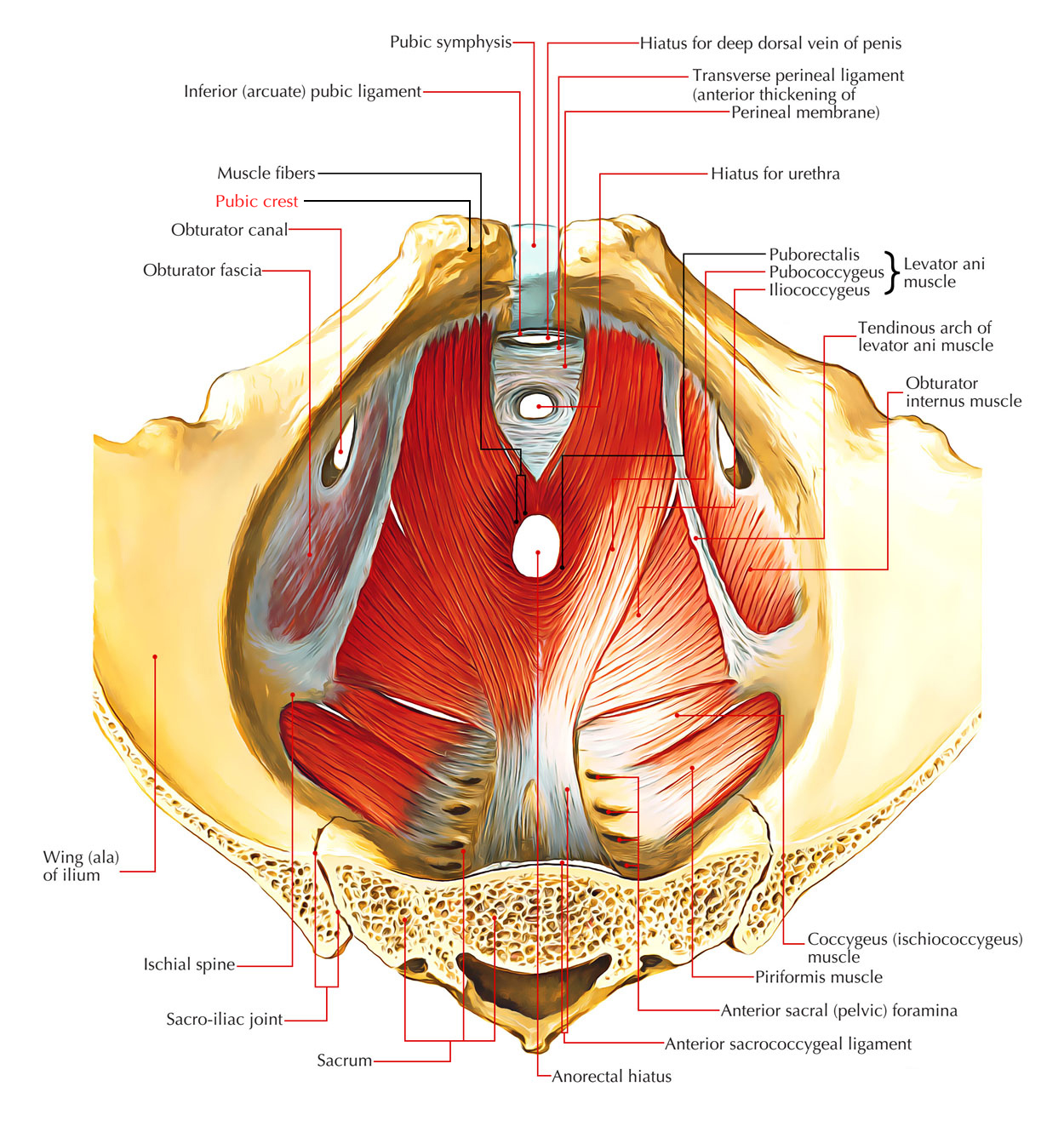 hight resolution of pubic crest