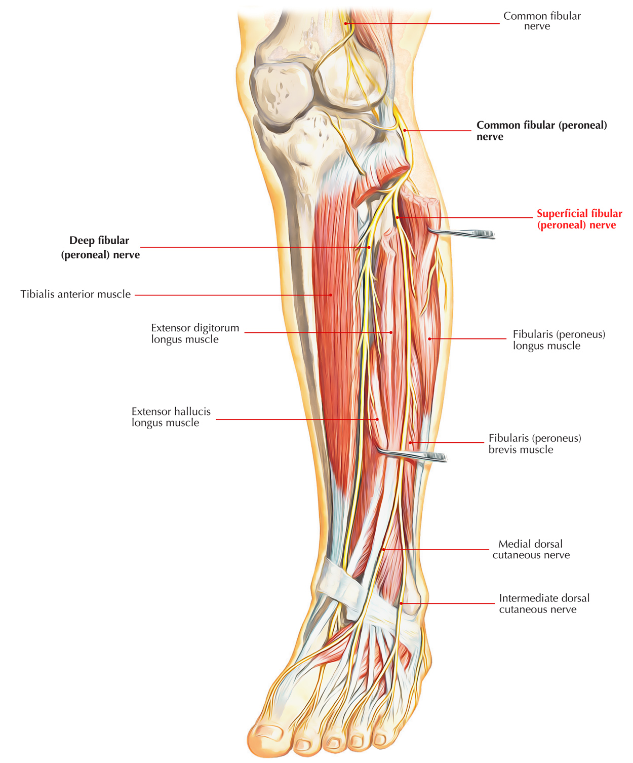 hight resolution of nerves of foot superficial fibular nerve