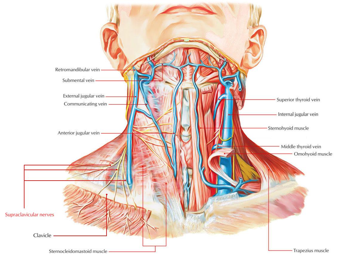 nerves in neck and shoulder diagram rv refrigerator wiring supraclavicular origin