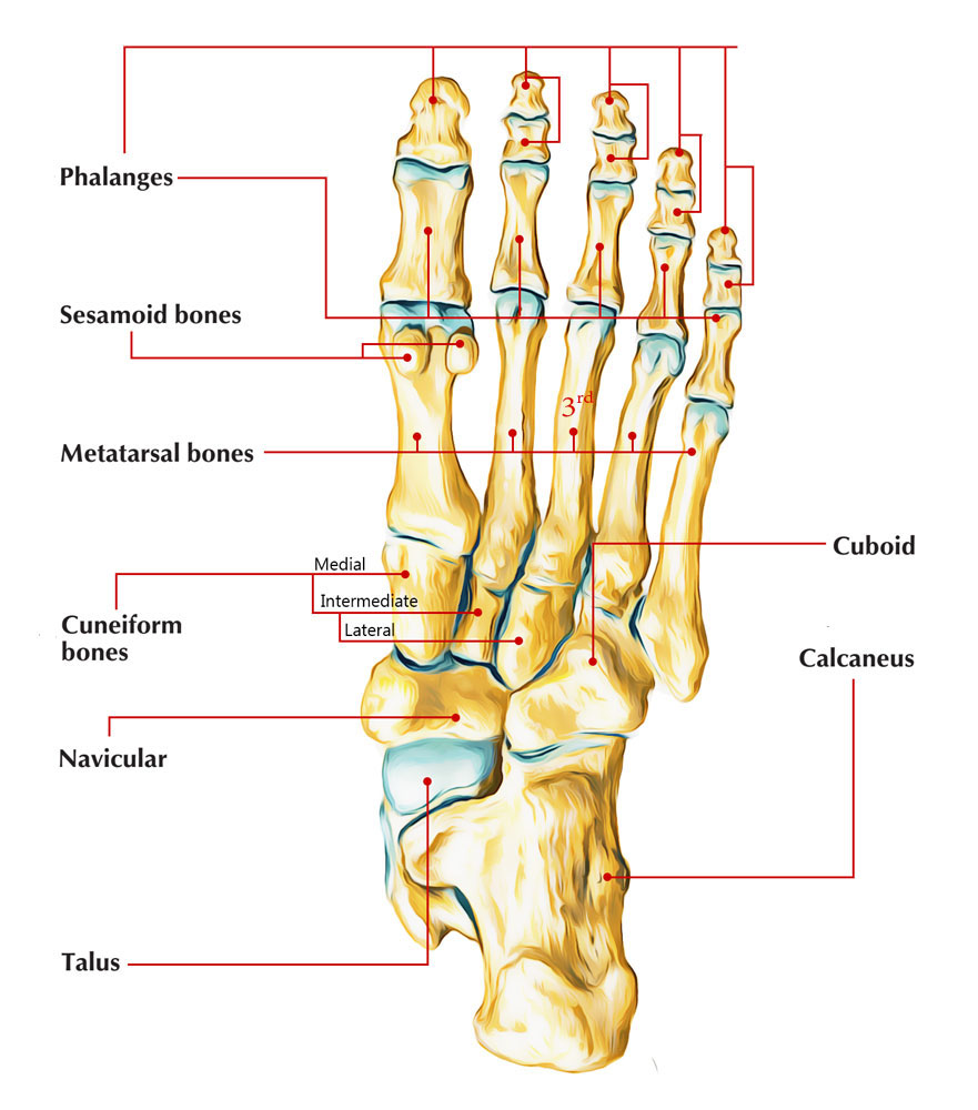 top of foot diagram 98 audi a4 fuse the third metatarsal