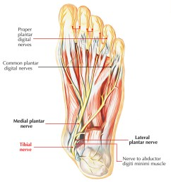 nerves of foot tibial nerve [ 1250 x 1341 Pixel ]