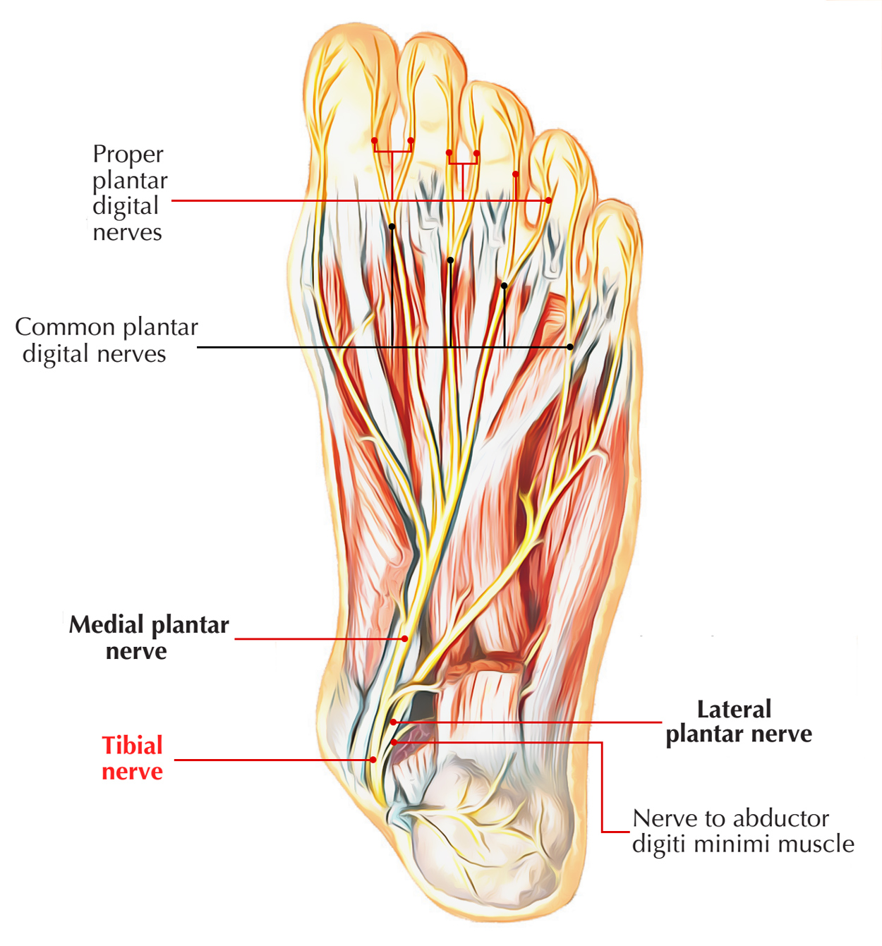 hight resolution of nerves of foot tibial nerve
