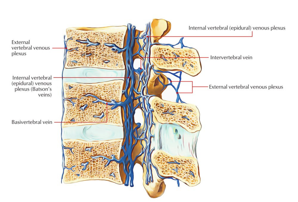 medium resolution of internal and external vertebral venous plexus