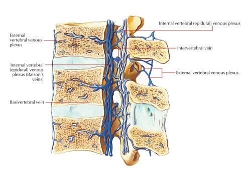 small resolution of internal and external vertebral venous plexus