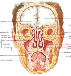 maxillary sinus relations [ 1250 x 1075 Pixel ]