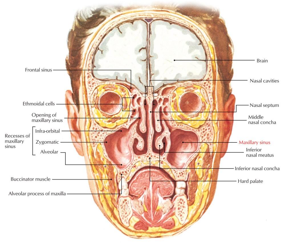 medium resolution of maxillary sinus relations