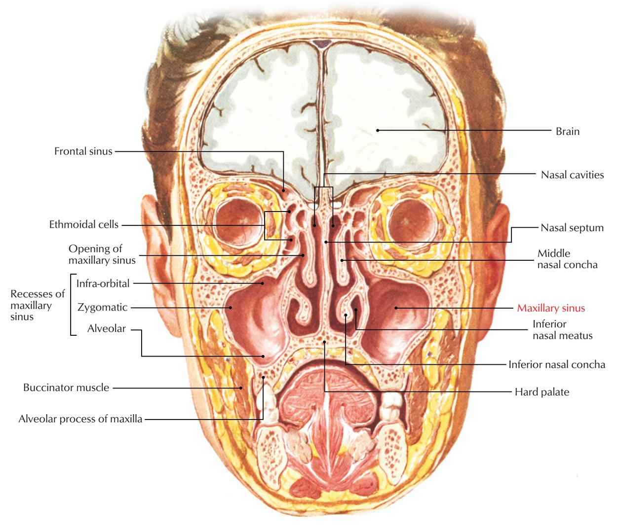 hight resolution of maxillary sinus relations