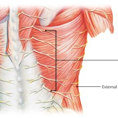 Muscle Diagram Dorsal Forester Stereo Wiring Rami Thoracic Zone