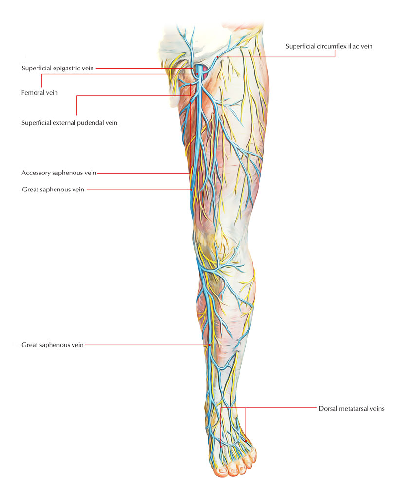 veins in the foot diagram thyroid and larynx anatomy of lower limb