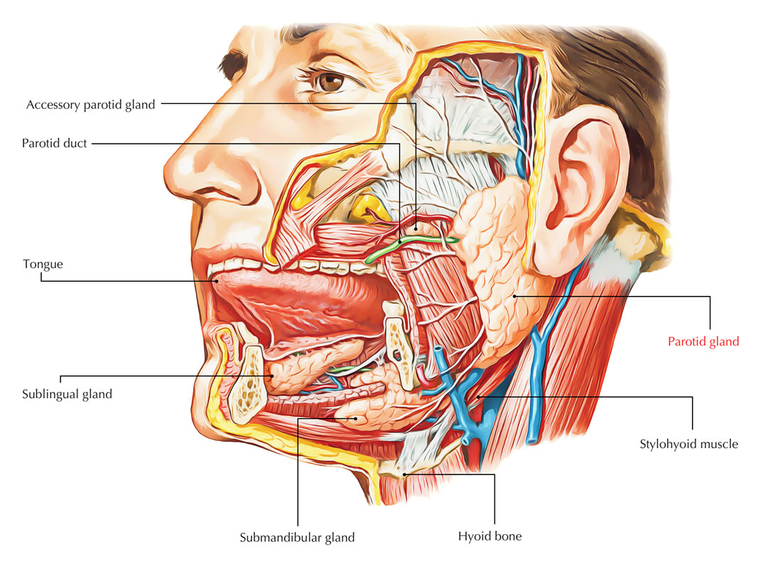hight resolution of diagram of infected salivary gland