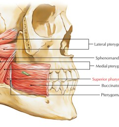 superior pharyngeal constrictor muscle [ 1464 x 800 Pixel ]