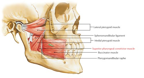 small resolution of superior pharyngeal constrictor muscle