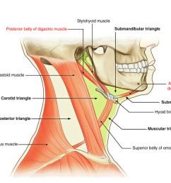 digastric muscle [ 1142 x 800 Pixel ]
