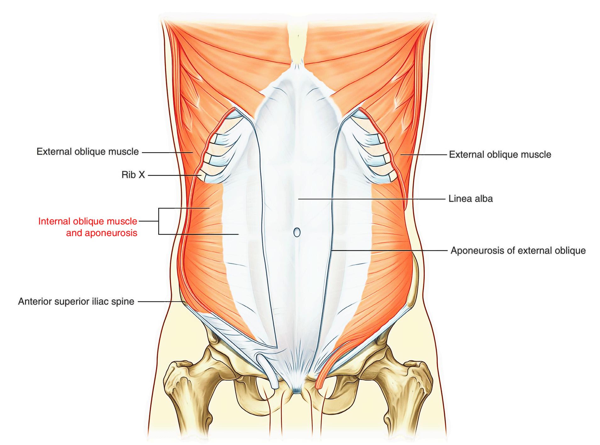 hight resolution of internal oblique