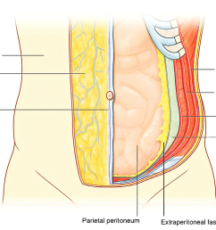 however in the lower region of the anterior part of the abdominal wall below the umbilicus it forms two layers a superficial fatty layer and a deeper  [ 1752 x 1063 Pixel ]