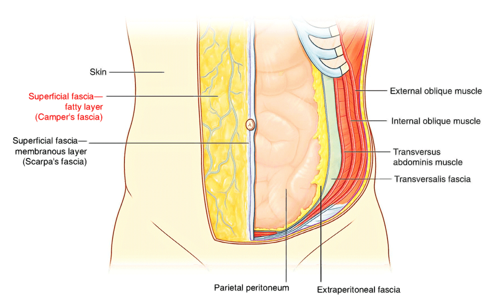 medium resolution of however in the lower region of the anterior part of the abdominal wall below the umbilicus it forms two layers a superficial fatty layer and a deeper