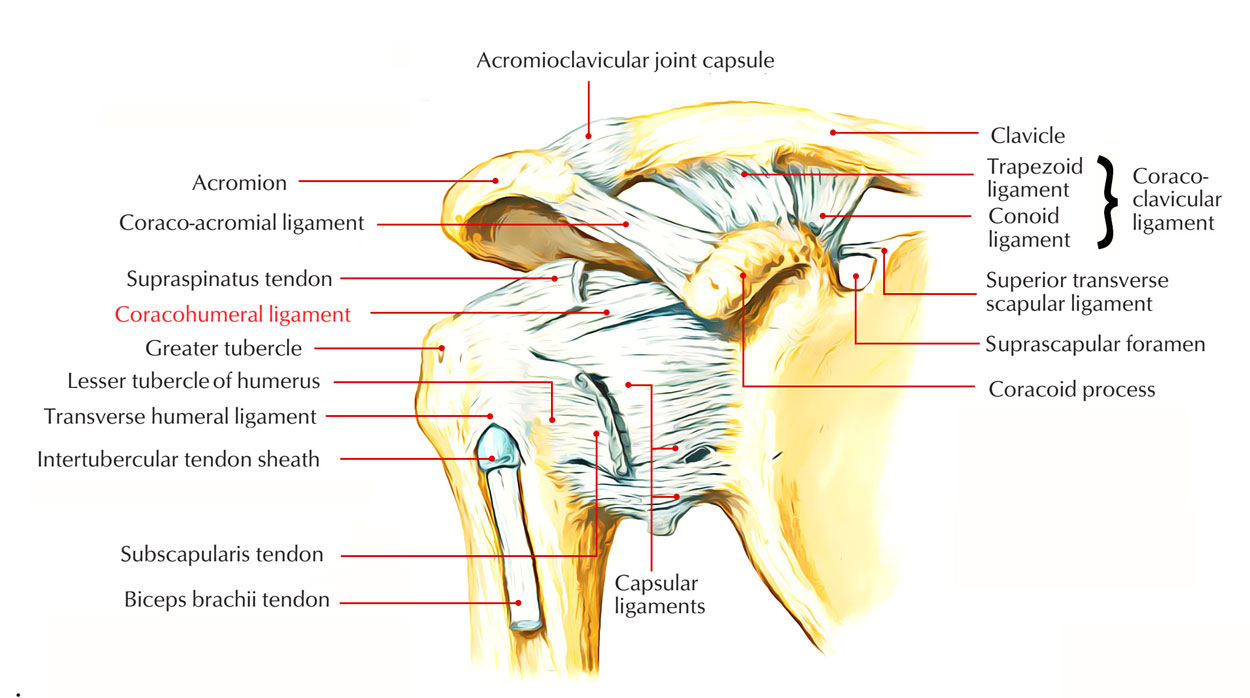 hight resolution of capsular ligament joint capsule