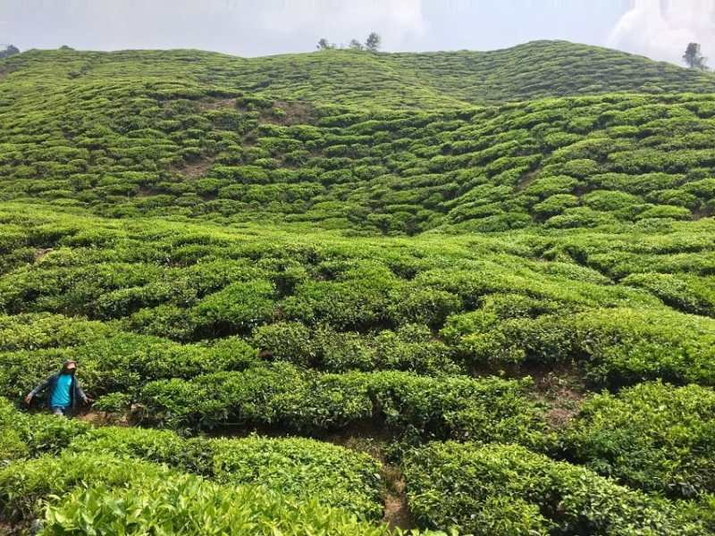 A migrant worker looks small in a giant tea tree field at a plantation in Malaysia.