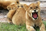 Volunteering with or for Big Wild Cats?