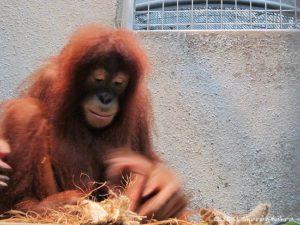 Orangutan-SB signed