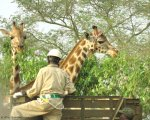 The Travelling Giraffe - Protecting a Species