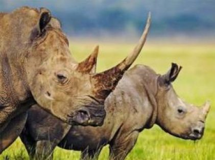 White Rhinos with horn (source: www.factzoo.com)