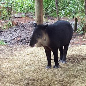 Tapir at the Belize Zoo