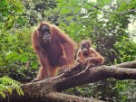 The Red Apes of Bukit —How Ethical is Orangutan Tourism?