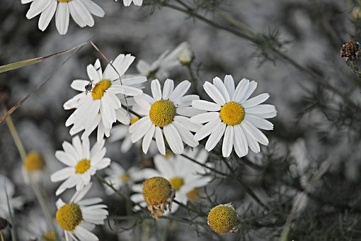 Chamomile – it's not just for tea!