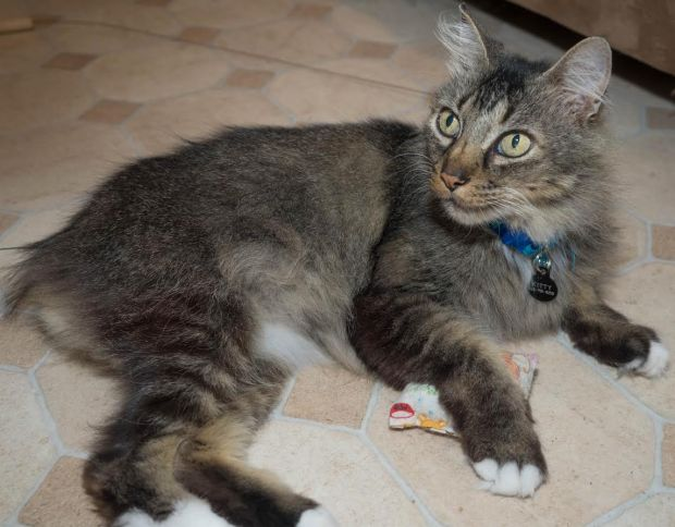 930-linc-maine-coon
