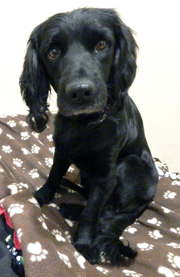 Joe Cocker, a two-year-old spaniel mix, is in need of a hip replacement and the removal of two objects, possibly BB's from his leg.