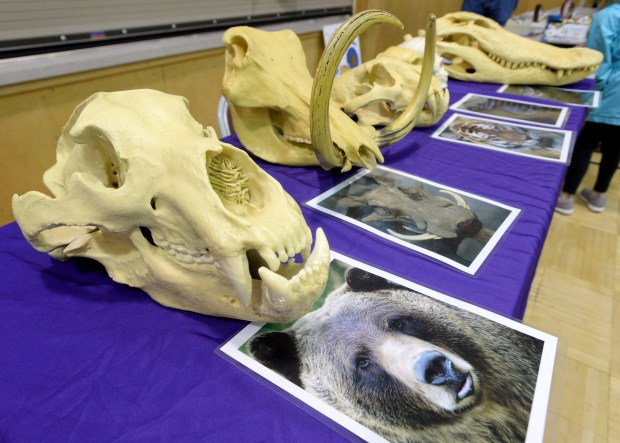 Students are encouraged to match the animal photo with the animal skeleton as the Glorietta Elementary School in Orinda hosts an evening science fair in Orinda, Calif., on Wednesday, March 22, 2017. Grizzly bear photo and skeleton were a correct match. (Susan Tripp Pollard/Bay Area News Group)