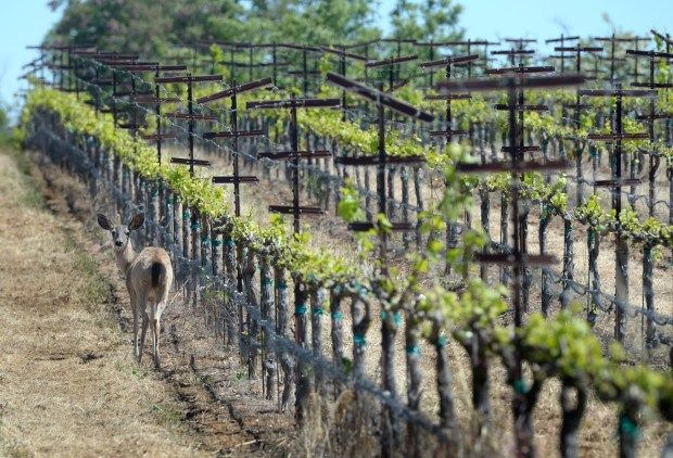 A deer explores at Ravenswood Historic Site Vineyards in Livermore Calif., on Thursday, April 27, 2017. Some of the vineyards date back to the late 1800s at the site. The vineyard will be changing hands and be taken care of by a new vineyard group. (Susan Tripp Pollard/Bay Area News Group)