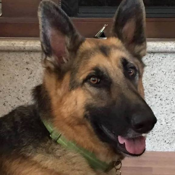 Volunteers, residents and law enforcement agencies are keeping watch for the safe return of Murfee, a German Shepherd dog who went missing from a Castro Valley yard Sunday, April 30, 2017.