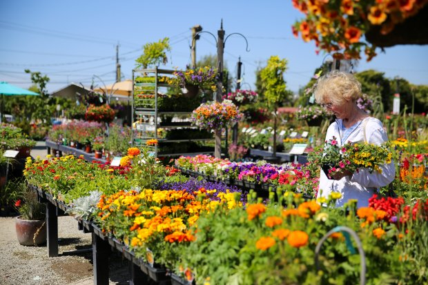 Judy Guerin, of Fremont, browses Regan Nursery for a variety of flowers onTuesday, June 6, 2017. The nursery will be allowed to remain at its current property for at least several more months as a developer recently backed out of a deal to build homes and retail space there. (Photo by Joseph Geha/The Argus)